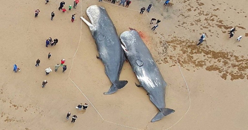 Sperm Whales Found Dead In Georgia, Stomachs Full Of Uncounted Trump Ballots